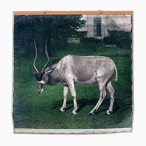 Vintage Wall Chart Antelope, 1915