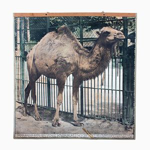 Vintage Wall Chart Camel, 1916