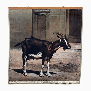 Vintage Wall Chart Goat, 1915