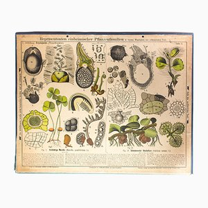 Antique Wall Chart Root Crops by Zippel and Bollmann, 1879