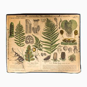 Antique Wall Chart Fern by Zippel and Bollmann, 1879