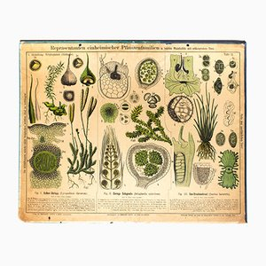 Antique Wall Chart Ground Pines by Zippel and Bollmann, 1879