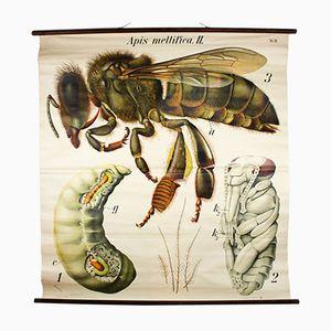Vintage Wall Chart Honey Bee by Paul Pfurtscheller, 1929