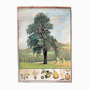 Antike Birnenbaum Lehrtafel, 1879