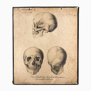 Antique Wall Chart The Human Skull by H. J. Ruprecht