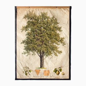 Antique Wall Chart Pear Tree by Kautsky and G. v. Beck for Gerold & Sohn, 1886
