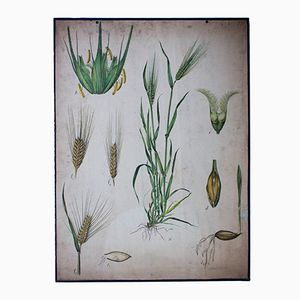 Antique Wall Chart Barley from Engleders Wandtafeln, 1897
