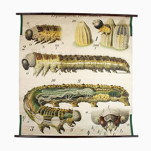 Vintage Wall Chart Caterpillar by Paul Pfurtscheller, 1911