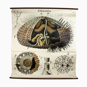 Vintage Wall Chart Sea Urchin by Paul Pfurtscheller, 1929