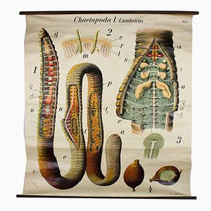 Vintage Wall Chart Earthworm by Paul Pfurtscheller, 1929