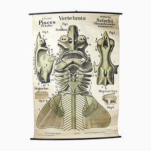 German Teachers Vertebrate Wallchart by Leuckart, Nitsche, and Chun for Th. G. Fischer & Co, 1890