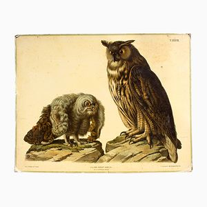 Antique Wall Chart Owl by A. Hasenhut for Carl Gerold's Sohn, 1886