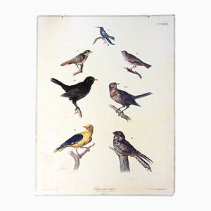 Antique Wall Chart Birds by A. Gerasch for Carl Gerold's Sohn, 1886