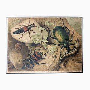 Käfer Lehrtafel von Friedrich Specht für F. E. Wachsmuth, 1878