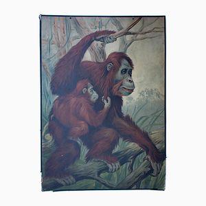 Orangutan Wall Chart by Friedrich Specht for F. E. Wachsmuth, 1878
