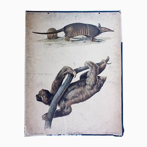 Austrian Armadillo and Sloth Wallchart by A. Gerasch for Carl Gerold´s Sohn, 1886