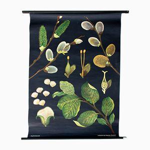 Affiche Salix Caprea/Saule par Jung Koch Quentell, Autriche, 1970