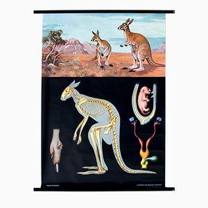 Affiche Murale d'un Kangourou par Jung-Koch-Quentell, 1970