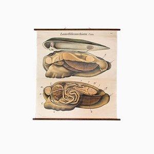 Affiche Murale Vintage d'une Coquille par Paul Pfurtscheller, 1929