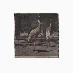Antique Austrian Photochrome Wall Chart of the Antigone Crane, 1920s