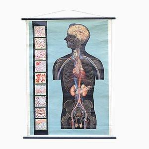 Stampa vintage sull'anatomia, Italia