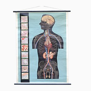 Vintage Italian Anatomical Wall Chart
