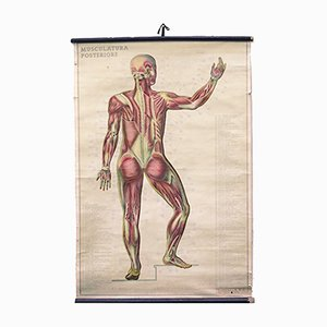 Affiche Murale d'Anatomie, Italie