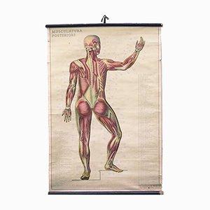 Italienische Anatomie Wandkarte