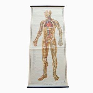 Blood Circulation Anatomic Wall Chart from Deutsches Gesundheits Museum Köln, 1952