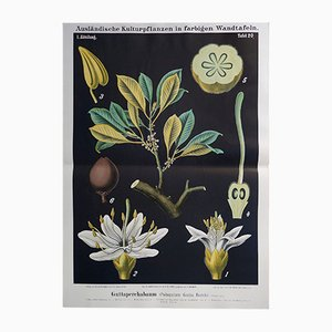 Antique German Wall Chart of a Guttapercha Plant, 1880s
