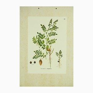 Affiche Botanique Pois-Chiche, 1962