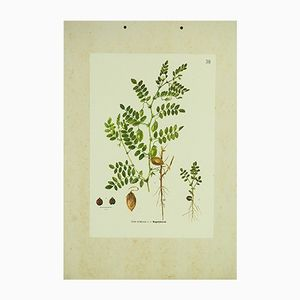 Chickpea Botanical Chart, 1962
