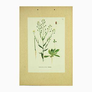 Botanische Leindotter Lehrtafel von Vera Csapody, 1960er