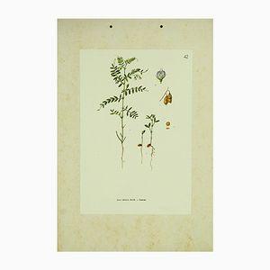 Affiche Botanique Lentille, 1962