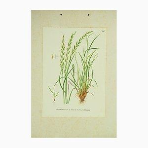 Stampa botanica del Lolium perenne, Italia, anni '60