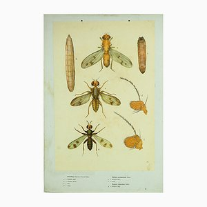 Hungarian School Chart Cereal Fly