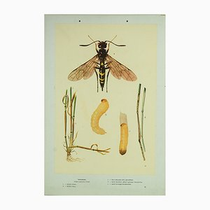 Vintage European Wheat Stem Sawfly Wall Chart