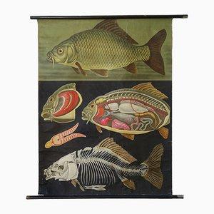 Stampa da parete vintage raffigurante una carpa di Jung-Koch-Quentell