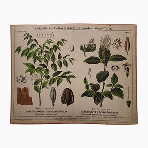 Antique Mahogany & Cinchona Wall Chart, 1870s