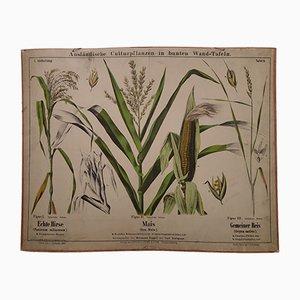 Stampa antica raffigurante le pinate di grano, riso e miglio, fine XIX secolo
