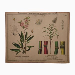 Antique Almond Tree & Sugar Cane Wall Chart, 1870s