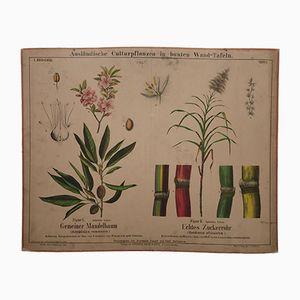 Cartellone antico con madorlo e canna da zucchero, fine XIX secolo