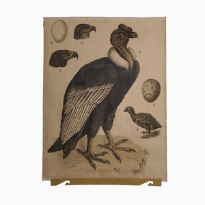 Antique Condor Wall Chart, 1890s