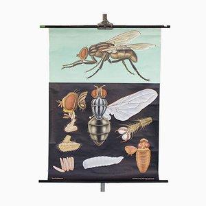 Schul Schautafel einer Fliege, 1960er
