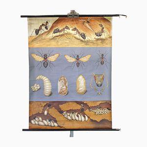 Cartellone educativo con formiche, anni '60