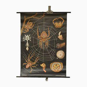 Cross Spider School Wall Chart, 1960s