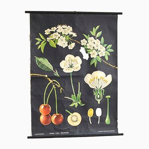 Vintage Cherry Flower Pull Down Chart by Jung Koch Quentell