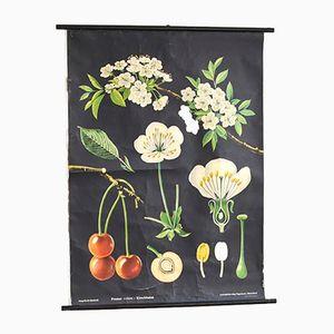 Vintage Kirschblüte Lehrtafel von Jung Koch Quentell