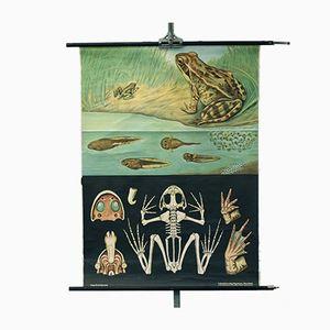 Vintage Schulwandkarte mit Flora und Fauna & Frosch von Lehrmittelverlag Hagemann