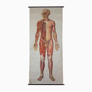 Human Body Wall Chart from the Deutsches Hygiene Institute, 1954